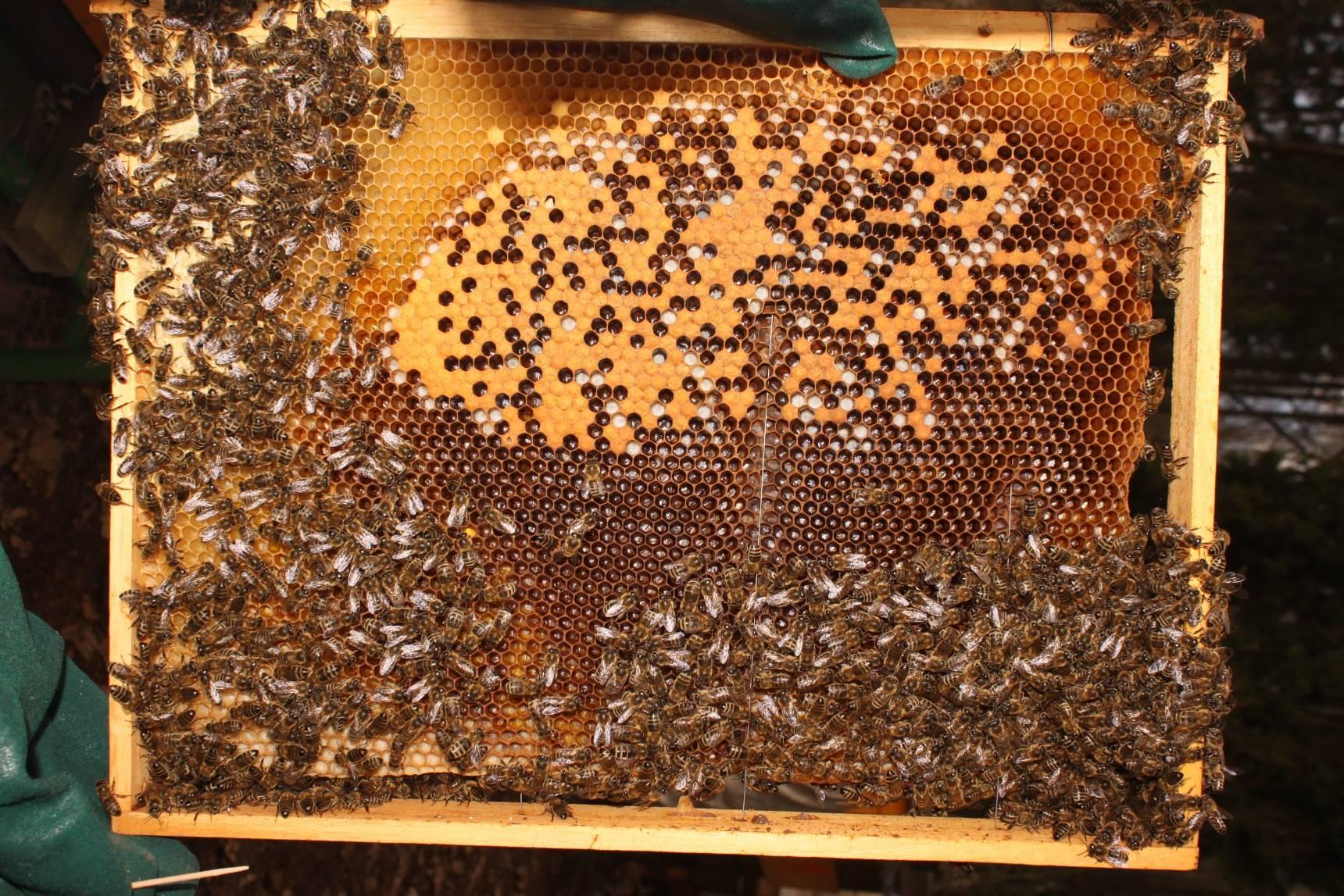 Obrázek 1 – mezerovitost plodu upozorní našpatný stav včelstva